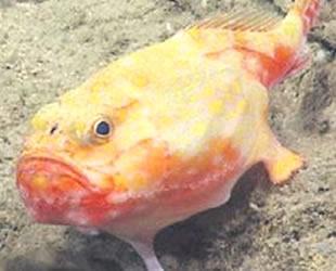 Porto Riko'da ayaklı balık keşfedildi