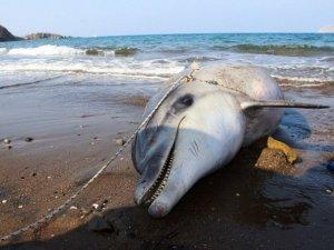 Muğla'da kuyruğu kesilmiş ölü yunus kıyıya vurdu