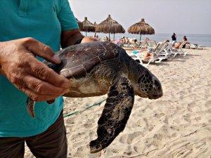 Kuşadası'nda deniz kaplumbağaları sahile vurdu