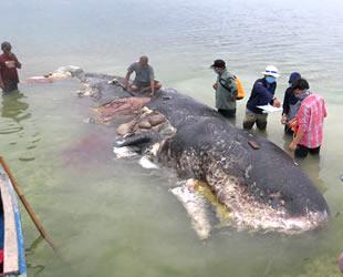 Endonezya'da kıyıya vuran ölü balinanın midesinden 6 kilo çöp çıktı