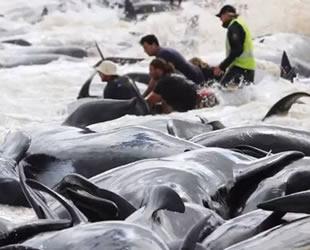 Yeni Zelanda'da 145 pilot balina kıyıya vurdu