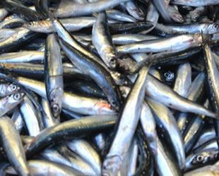Hamsi bollaştı, balık fiyatları düştü