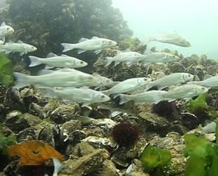 İzmit Körfezi'ne 12 bin balık bırakıldı