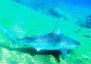 Kum Köpekbalıkları'mızın sayısı artıyor