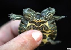Küba'da iki başlı kaplumbağa