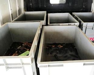 Söke'de 12 bin deniz patlıcanı ele geçirildi