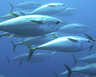 Orkinos avı için 29 gemiye izin verildi