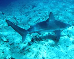 Akdeniz'de 20 köpek balığı ve vatozun tehlike altında olduğu açıklandı