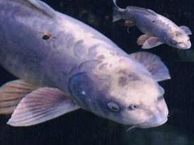 Dünyanın ilk robot balığı
