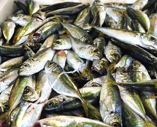 Ramazan ayında balıkçı tezgahlarını istavrit süslüyor