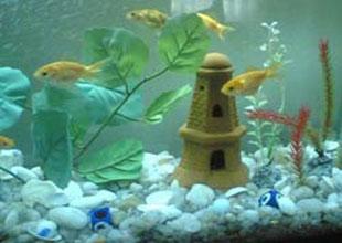 Üniversiteli balıklar akvaryumları süslüyor