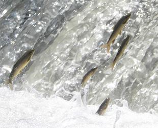 Siraz balığının çoğalması için özel çalışma yapılıyor