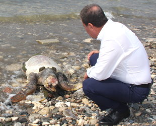 Dev caretta caretta ölü olarak kıyıya vurdu
