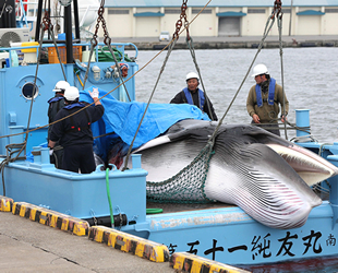 Japonya'da ticari amaçlı balina avı yeniden başladı