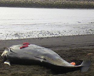 İzlanda'da kıyıya vuran 20 kılavuz balina öldü