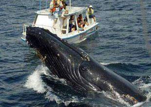 Balinaların belası: İnsan kaynaklı sesler