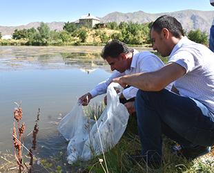 Hakkari'de baraj ve göletlere 130 bin sazan yavrusu bırakıldı