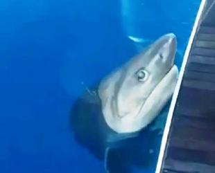 Tekne turu sırasında oltaya 3 metrelik köpek balığı takıldı