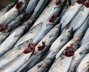 Balıkçıları yeni sezon heyecanı sardı