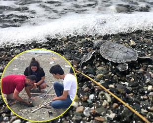 Hatay'da yavru kaplumbağalar denizle buluştu