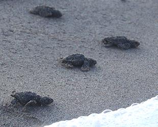 Patara'da yavru caretta carettalar denizle buluşturuldu