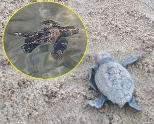 Aydın'da caretta caretta yavruları denizle buluştu