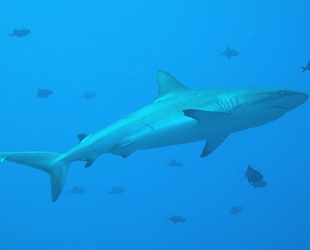Köpek balığı ve vatoz türüne yönelik av yasağını öngören tasarı kabul edildi