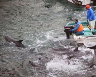 Japonya'da tartışmalı yunus avı başladı