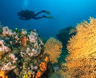Ayvalık'ın sarı mercanları dalış dünyasının ilgisini çekiyor