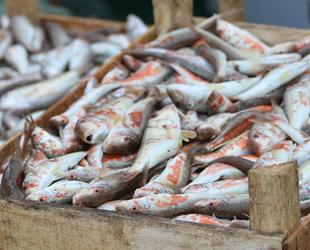 Akçakocalı balıkçıların yüzü tekirle güldü