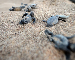 Belek'te 70 bin yavru caretta caretta denizle buluştu