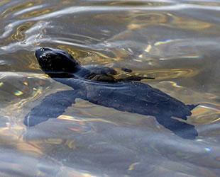 Mersin'de kaplumbağa yavruları denizle buluştu