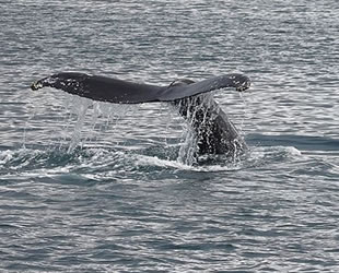 Dişi çubuklu balinalar yavrularına fısıldıyor