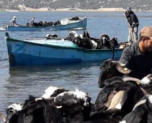 Keçi sürüleri adaya balıkçı tekneleriyle taşındı