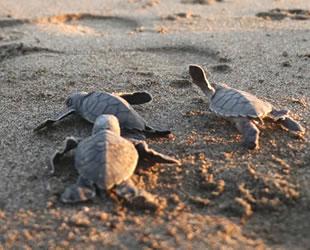 Mersin'de 250 bin yavru deniz kaplumbağası denizle buluştu