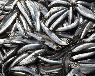 Marmara'ya gelemeyen Karadeniz hamsisi balık fiyatlarını tırmandırdı