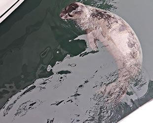 Çeşme Marina'nın yeni misafiri Akdeniz foku oldu