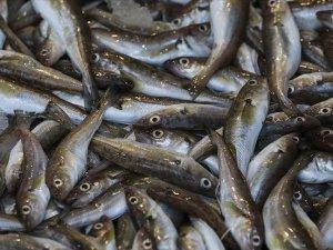 Karadenizli balıkçıların yüzü dip balıklarıyla gülüyor