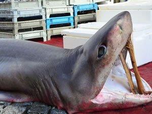 Marmara Denizi'nde 3 metrelik köpekbalığı yakalandı