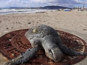 1 ayda 8 deniz kaplumbağası ölü olarak bulundu