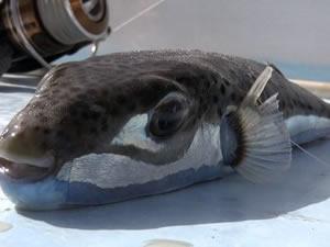 Balon balığı, balıkçıların kabusu oldu