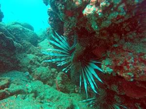Zehirli balık türleri dalış merkezlerini endişelendiriyor