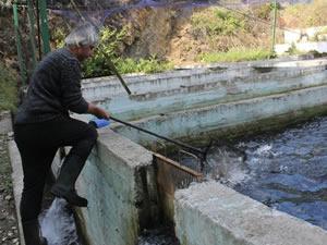 Balık çiftliğini koruyan köpeği yaralayıp, somonları çaldılar