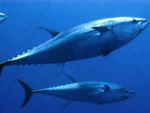 Mavi yüzgeçli orkinos avcılığı başladı