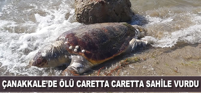 Çanakkale'de ölü caretta caretta sahile vurdu