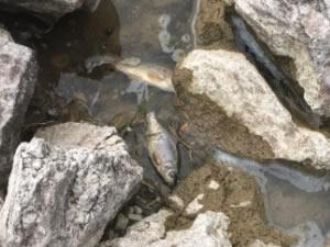 Van'ın Özalp ve Saray ilçelerindeki balık ölümleri inceleniyor
