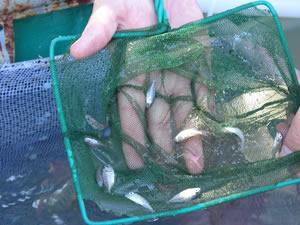 Çanakkale'de 10 bin yavru çipura denizle buluştu