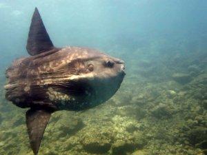 Saros Körfezi'nde 700 kiloluk 'Mola Mola' sürprizi