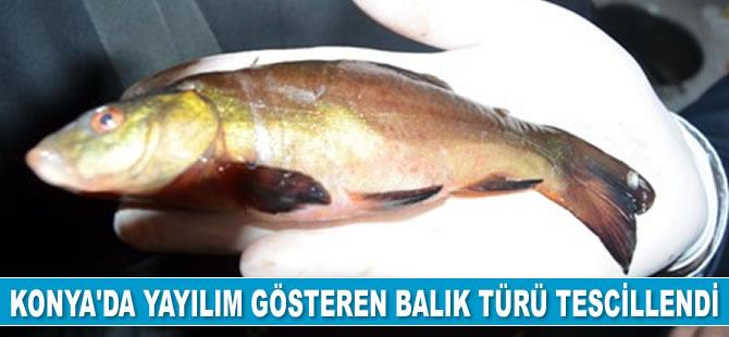 Konya'da yayılım gösteren balık türü tescillendi