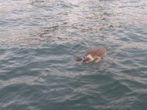 Muğla'da denizde ölü caretta caretta bulundu